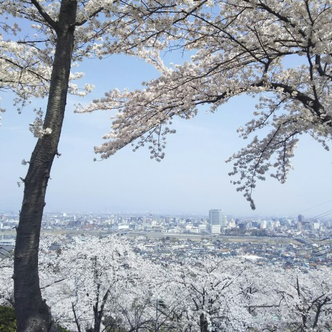 【桜・見頃】高崎観音山