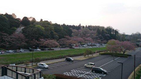 【桜・見頃】桜山公園