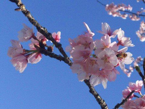 北浅羽の安行寒桜の桜名所・お花見写真