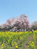 【桜・見頃】一心行の大桜