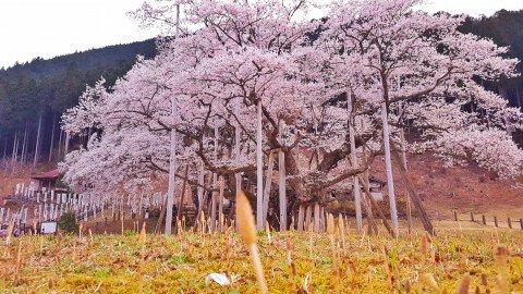 【桜・見頃】淡墨公園