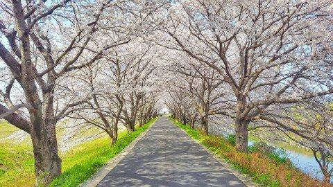 【桜・見頃】墨俣一夜城址公園・犀川堤の桜名所・お花見写真