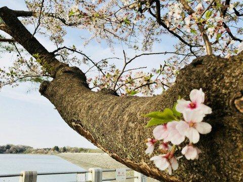 狭山自然公園の桜名所・お花見写真