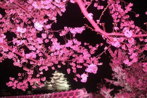 【桜・見頃】姫路城