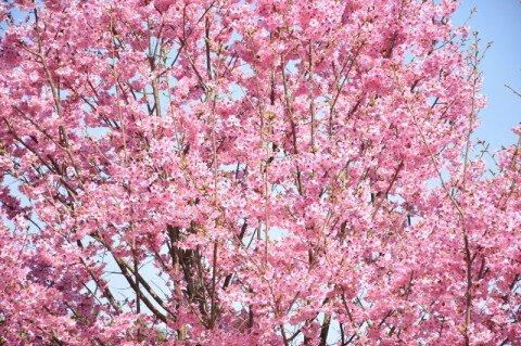 【桜・見頃】ひろしま遊学の森 広島県緑化センター さくら通り