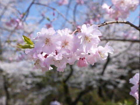 【桜・見頃】舞鶴公園の桜名所・お花見写真