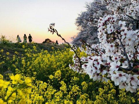 【桜・見頃】熊谷桜堤の桜名所・お花見写真
