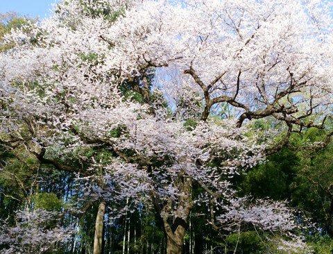 【桜・見頃】エドヒガンザクラ(北本自然観察公園内)の桜名所・お花見写真