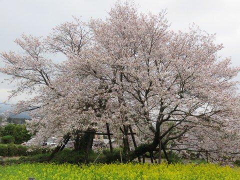 【桜・見頃】狩宿の下馬桜