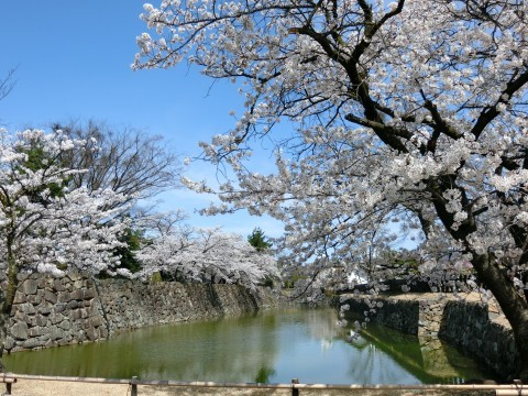 【桜・見頃】国宝 松本城の桜名所・お花見写真