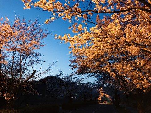 【桜・見頃】長瀞の桜名所・お花見写真