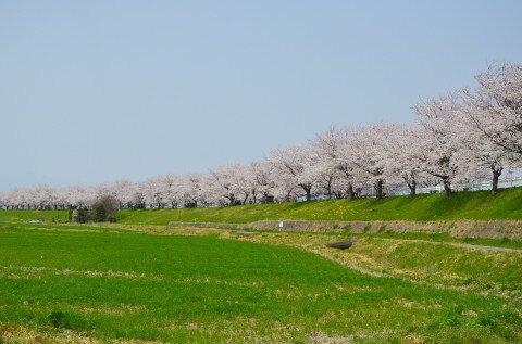 【桜・見頃】平田公園と大榑川桜並木