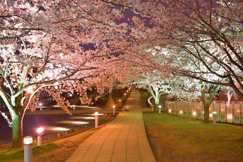 【桜・見頃】白山公園の桜名所写真