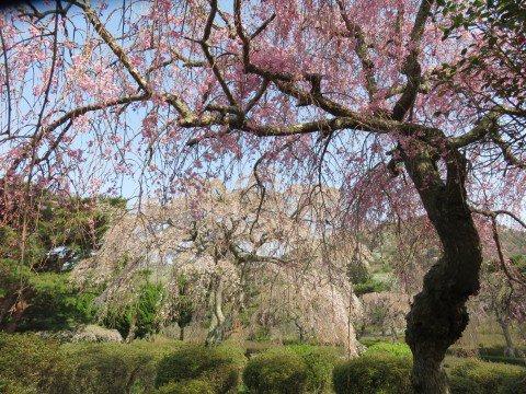 小室山の桜名所・お花見写真