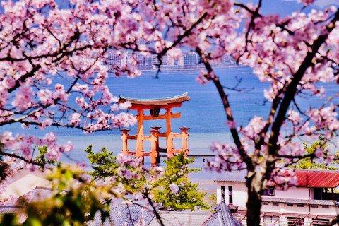 【桜・見頃】宮島
