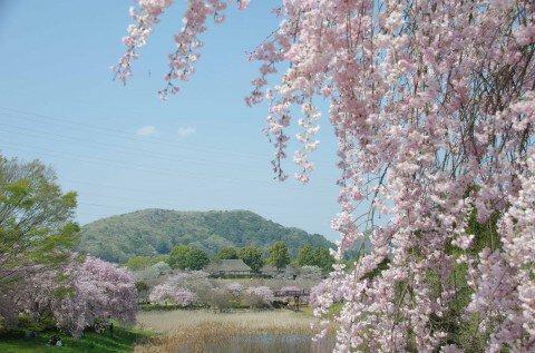 【桜・見頃】常陸風土記の丘