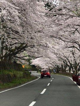 海津大崎の桜名所・お花見写真