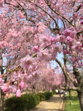 石岡風土記の丘の桜名所・お花見写真