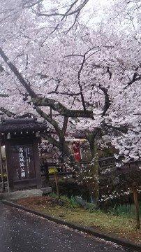 【桜・見頃】高遠城址公園