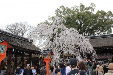 【桜・見頃】平野神社