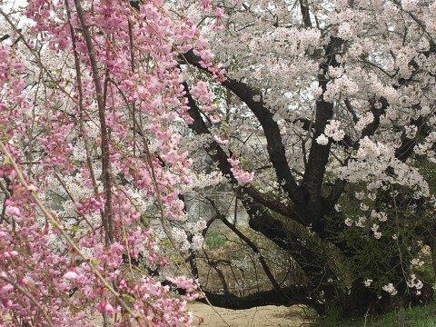 【桜・見頃】花と歴史の郷 蛇の鼻