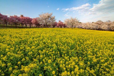 【桜・見頃】赤城南面千本桜