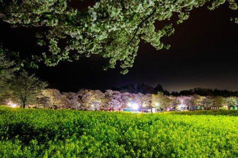 【桜・見頃】赤城南面千本桜の桜名所・お花見写真