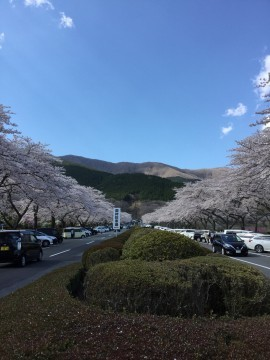 【桜・見頃】富士仏舎利塔平和公園