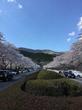 【桜・見頃】富士仏舎利塔平和公園の桜名所・お花見写真
