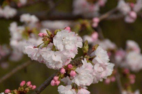 【桜・見頃】ひろしま遊学の森 広島県緑化センター さくら通りの桜名所・お花見写真