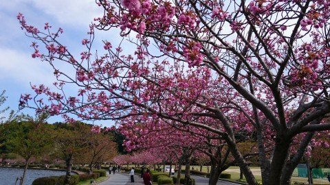 【桜・見頃】千波湖畔の桜名所写真
