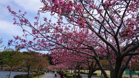 【桜・見頃】千波湖畔の桜名所・お花見写真