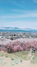 【桜・見頃】弘法山古墳