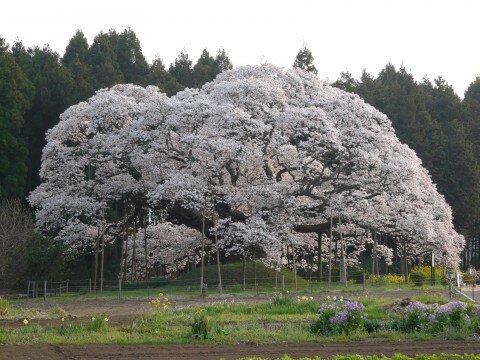 印西市の桜名所・お花見写真
