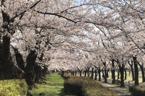 【桜・見頃】開成山公園・開成山大神宮