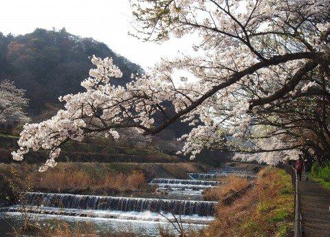 【桜・見頃】宮城野早川堤の桜名所・お花見写真