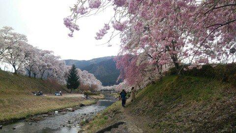 鮎河の千本桜 の桜名所・お花見写真