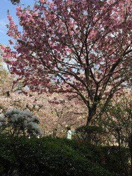 【桜・見頃】白野江植物公園の桜名所写真