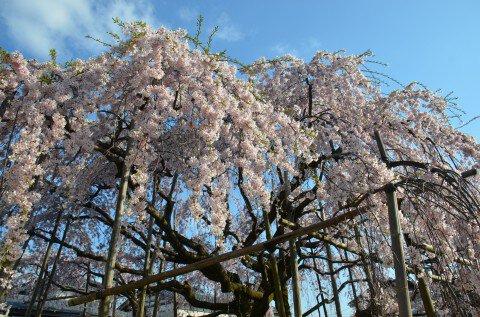 江南区 三春の滝桜の子供