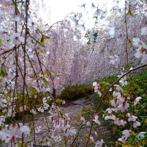 神山 ゆうかの里の桜名所・お花見写真