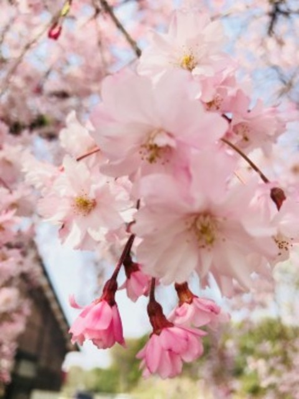 渋川総合公園の桜名所・お花見写真
