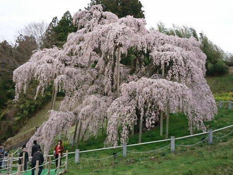【桜・見頃】三春滝桜