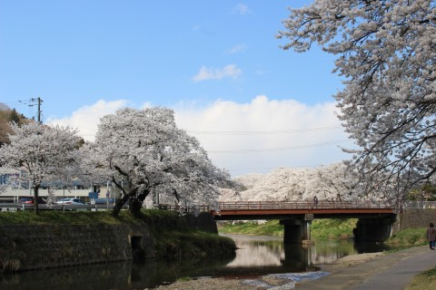 【桜・見頃】今出川・北須川の桜並木