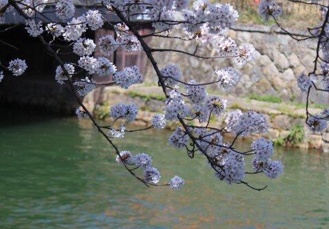 【桜・見頃】岡崎桜回廊ライトアップ&十石舟めぐり
