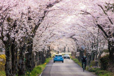 【桜・見頃】太平山の桜名所・お花見写真