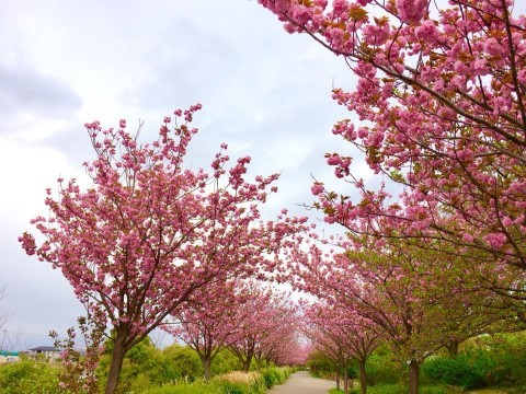 農業文化園・戸田川緑地の桜名所・お花見写真