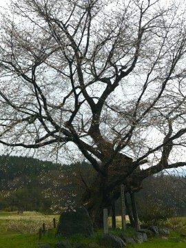 【桜・見頃】尾所の桜の桜名所・お花見写真