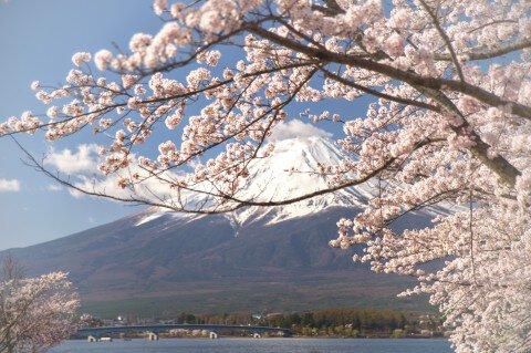 【桜・見頃】河口湖畔(北岸)