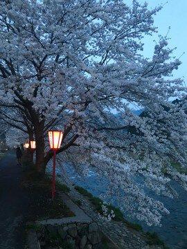 【桜・見頃】美甘宿場桜