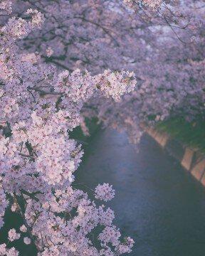 五条川の桜名所・お花見写真